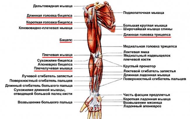 фитнес мышцы рук