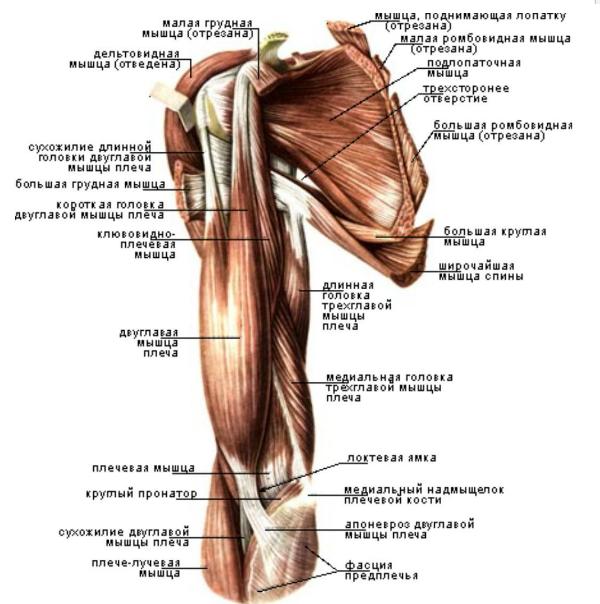 Анатомия плечевого сустава и мышц плеча деформация суставных дисков лечение
