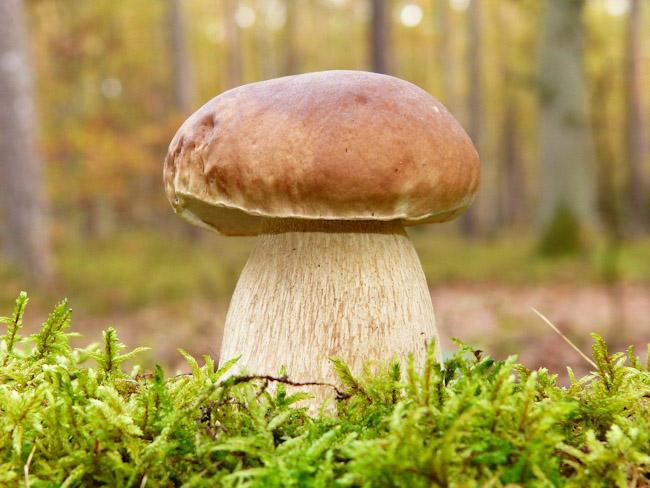 Ученые рассказали, о пользе белых грибов