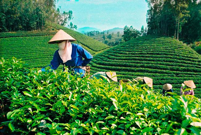 Различие между черным и зеленым чаем. Их полезные свойства